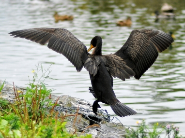 Cormorant in the Pond