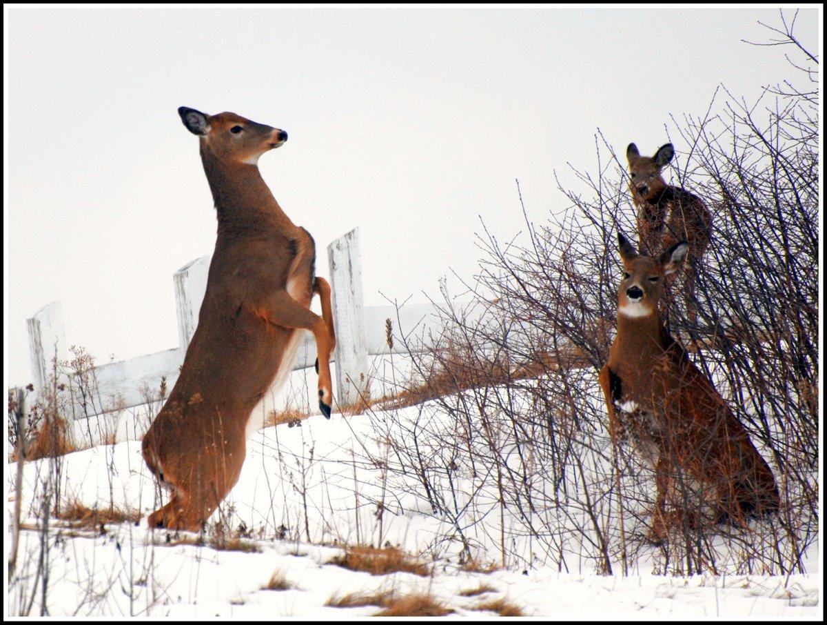 15-deer_forthowe