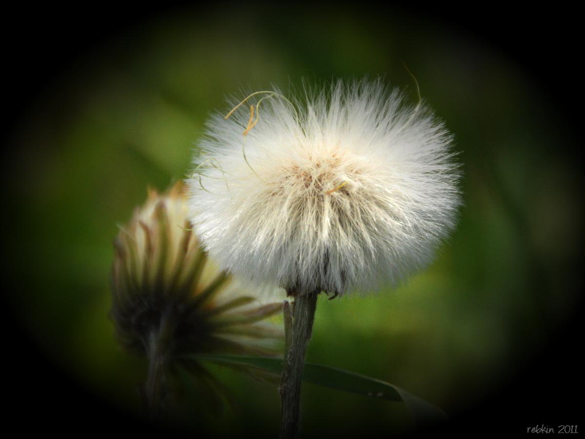 ex-dandelion