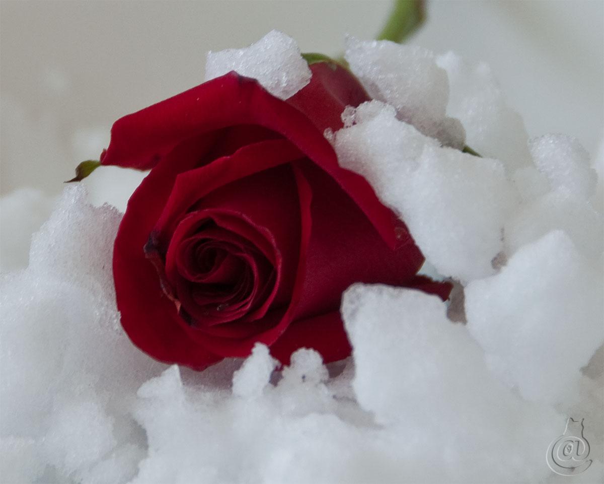 rose2snow